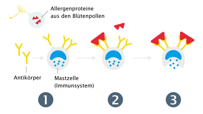 schematischer Ablauf einer allergischen Reaktion