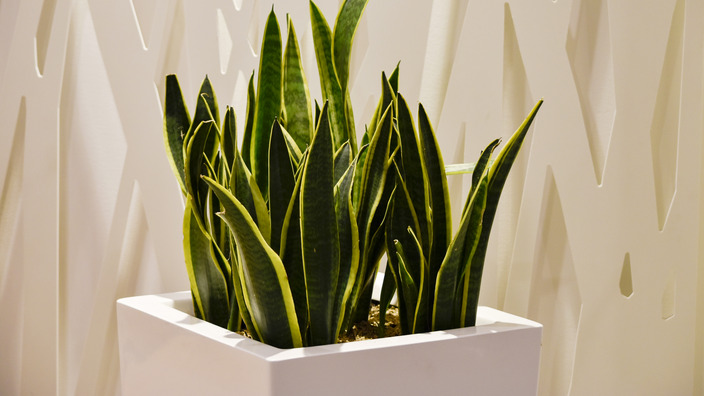 Bogenhanf als Topfpflanze
