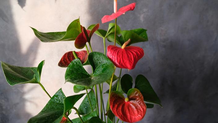Flamingoblume als Topfpflanze