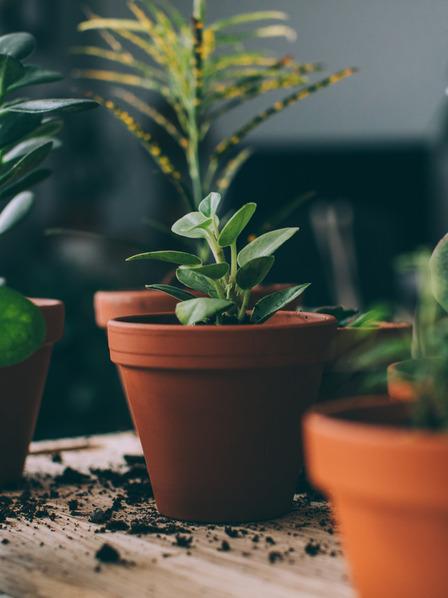 Frisch eingepflanzte grüne Zimmerpflanzen stehen bereit, um die heimische Raumluft zu verbessern.
