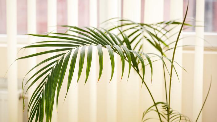 Kentia-Palme im Wohnzimmer